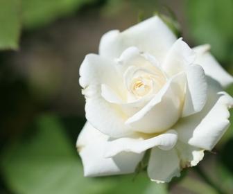 znaczenie snu Białe róże