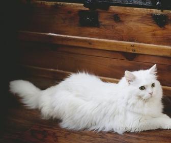 znaczenie snu Biały kot