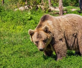 znaczenie snu Niedźwiedź